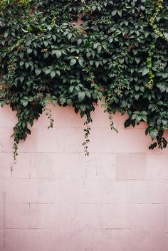 Ivy on Pink Wall by Kara Riley for Stocksy United is part of Flowers photography wallpaper - Flor Iphone Wallpaper, Tumblr Wallpaper, Aesthetic Iphone Wallpaper, Aesthetic Wallpapers, Wallpaper Backgrounds, Floral Wallpaper Phone, Phone Backgrounds Tumblr, Plant Wallpaper, Phone Screen Wallpaper