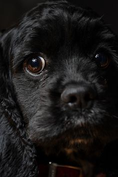 American Cocker Spaniel: I have one just like him. I have a thing for Cocker Spaniel dogs. They're just adorable and their personalities are amazing. Black Cocker Spaniel, American Cocker Spaniel, Cocker Spaniel Puppies, English Cocker Spaniel, Cute Puppies, Cute Dogs, Dogs And Puppies, Doggies, Cocker Bebe