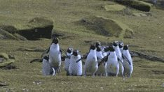 Just a colony of penguins chasing a butterfly!