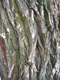 Borke von Salix alba 'Tristis' Trauer-Weide