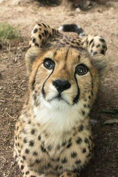 Lovely photo of a gorgeous Cheetah.