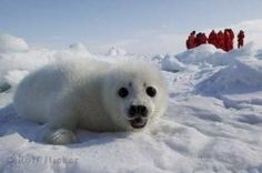 A really cute baby seal picture taken on the ice floes of the Atlantic Ocean near Prince Edward Island and Newfoundland, Canada.