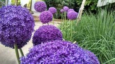 Allium 'Ambassador' the Dr. Seuss of flowers, growing in the Children's Garden. Photo by Heather Veneziano