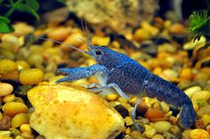 Underwater with a Blue Lobster by KoolPix, via Flickr