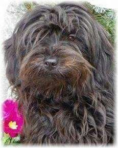 Tibetan terrier...looks like my baby on his bad hair day lol
