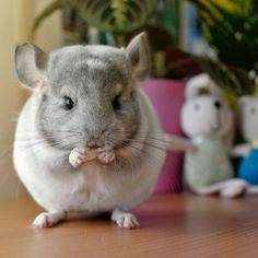 Super cute round and fluffy chinchilla eating their treat.
