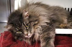 Dixie is an adoptable Maine Coon Cat in New Milford, CT. Dixie is a stunning new face at the shelter! She is 5-6 years old and is very social and outgoing. She is declawed and we hope she will find a ...