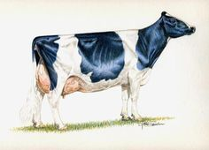 Animals Drawing Ideal Holstein cow - 8 inch by 10 inch print reproductions of the original pencil drawing by Gary Sauder Farm Animals, Animals And Pets, Cow Drawing, Wildlife Paintings, Artwork Paintings, Holstein Cows, Gyr, Dairy Cattle, In The Zoo