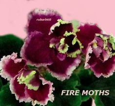 AFRICAN VIOLET LEAVES FIRE MOTHS~BREATH TAKING DARK RED WITH BRIGHT GREEN EDGING
