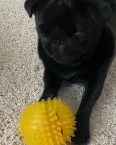 Pug Puppies, Pugs, Animals And Pets, Cute Animals, Black Pug, Kinds Of Dogs, Pug Love, Cute Creatures, Little Dogs