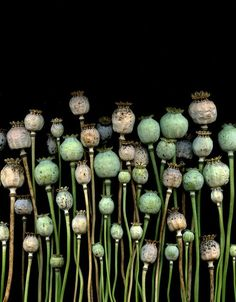 poppy seed heads - so architectural