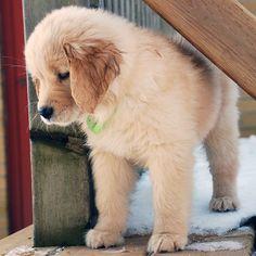 """TGIF everyone! I've had an awesome first week home ☺️ #goldenretriever #goldenretrieverpuppy #golden #retriever #puppy #gloriousgoldens #dog…"""
