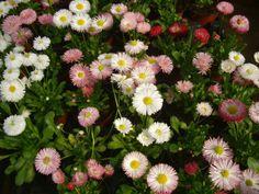 Plantas y flores: Bellis perennis