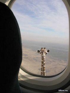 Giraffe outside an airplane window