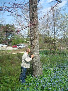Sassafras tree At Morton Arboretum