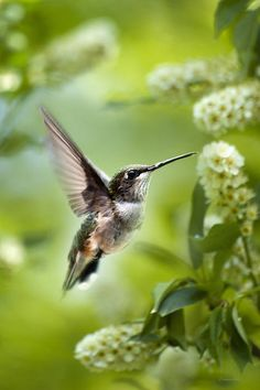Peaceful Love Hummingbird - Ruby-Throated Hummingbird (Archilochus colubris) Buy Art Prints Online - Fine Art Prints, Stretched Canvas Prints, Acrylic Prints, Metal Prints & Framed Art for Sale!