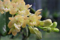 Rhynchostylis-gigantea-orchid-Young-plant-FREE-WORLD-POST
