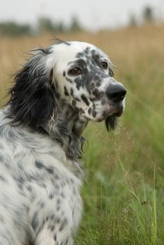English Setter (Lawerack/Laverack/Llewellin/Blue Belton)...I had a dog JUST like this growing up. Her name was Happy, and she was the best dog ever!