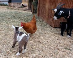 The Maaaaa of Pricilla: The Publicist Thinks I'm a Bad Goat. The chicken's bigger than the kid.
