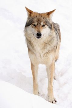 sisterofthewolves:  Picture by Cory DaughertyMexican gray wolf (Canis lupus baileyi).