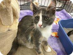 HILLSBORO, OR - Domestic Mediumhair. Meet 'Peach', a kitten for adoption…
