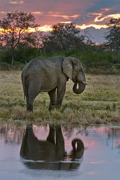 African elephant, Tubu Tree Camp, Jao Reserve, on the west of the Okavango Delta, Botswana