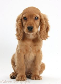 golden working cocker spaniel puppies - Google Search