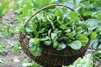 Spinat einfrieren – 2 Möglichkeiten vorgestellt