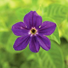 Browallia is a surefire pick for adding rich color to your shade garden! http://www.bhg.com/gardening/flowers/annuals/top-shade-loving-annuals/?socsrc=bhgpin022715browallia&page=9