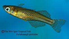 10 Spotted Blue Eye Rainbowfish Pseudomugil Gertrudae Tropical Freshwater Live   eBay