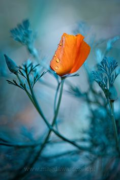 Stunning California Poppys and photography! <pin by Peggy Crump on Bokeh Photography> found on 500px.com