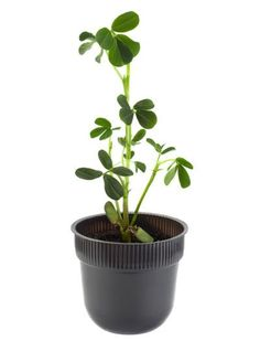 Indoor Peanut Growing – Learn How To Grow Peanuts Indoors Can I grow a peanut plant indoors? This may sound like an odd question to people who live in sunny, warm climates, but for gardeners in chilly climates, the question makes perfect sense! If you want to learn how to grow peanuts indoors, click this article.