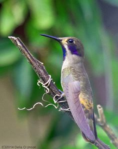 Brown Violetear - Colibri delphinae Lacking the bright gaudy greens of other members of the genus, the overall brown plumage and bright violet auriculars (hence the common name violet-ear) make the...