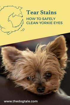 Yorkie eye discharge and tear staining can be an unattractive feature of your otherwise adorable little furball. Keep reading for information on how to clean Yorkie eye boogers and safely remove tear stains. Dog Eyes, Puppy Eyes, Puppy Care, Dog Care, Dog Tear Stains, Yorkie Cuts, Yorkie Haircuts, Yorkshire Terrier Puppies, Terrier Dogs