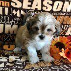 Sasha - A Lhasa Apso Puppy