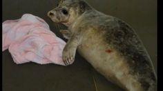 Beach Seal Rescue - ITV News