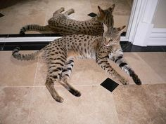 Savannah Cat - a cross between a Serval and a domestic cat.. basically like having your own wild kitty :)