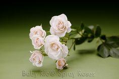 Baby Rio® WHITE MAJOLIKA Spray Rose