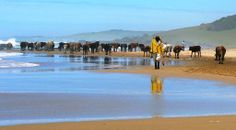 Cows and fisherman on the beach ... somewhere on the Wild Coast, former Transkei, 2014