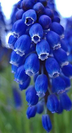 "Muscari, otherwise known as Grape Hyacinth - ""Blauwe druid"" - by petrus radix"