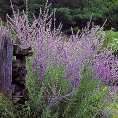 Russian Sage- grows well in Utah, 3-4 ft tall, Blooms July-Sept