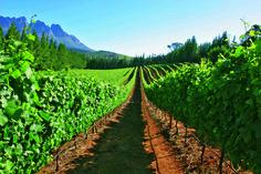 Doolhof Wine Estate Vinyards 2