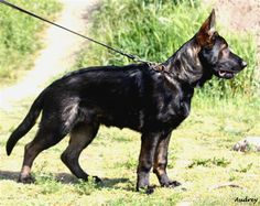 """DDR/Czech line black sable GSD.... """"Awesome line of dogs, you don't want to run into this guy in a dark alley!"""""""