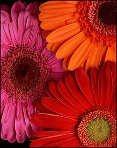 Gerber daisies :) one of my faves~! ❤️Love getting these with Roses!❤️it's the I'm thinking of Julie Trademark!