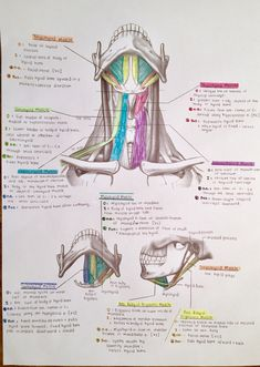 Muscles of the Anterior Triangle of the Neck- For eating and drinking Dental Anatomy, Medical Anatomy, Med Student, Physical Therapy School, Medicine Notes, Dental Hygiene School, Nursing School Notes, Human Anatomy And Physiology, Muscle Anatomy