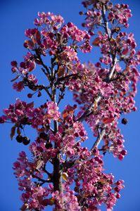 Purple Plum Tree