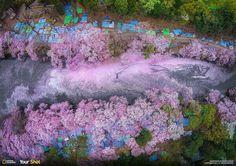 صورة خلابة لتفتح أزهار شجر الكرز في بدايات فصل الربيع في اليابان 🌸.