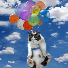 Balloons and cat