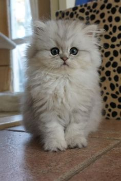 Persian Kitten | Cattery van IJdoorn | The Netherlands #persiancatwhite