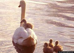 Swan and ducklings Beautiful Swan, Beautiful Birds, Animals Beautiful, Baby Animals, Cute Animals, Mundo Animal, Tier Fotos, Fauna, Chow Chow